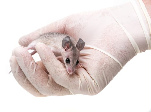 From Mice to Men – The Advantage of using Rodents in Research